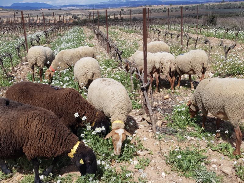 Le pâturage chez les vignerons du Terrassous