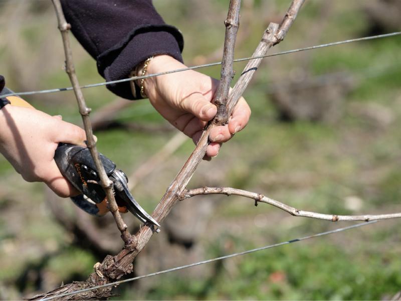La taille de la vigne dans les Aspres